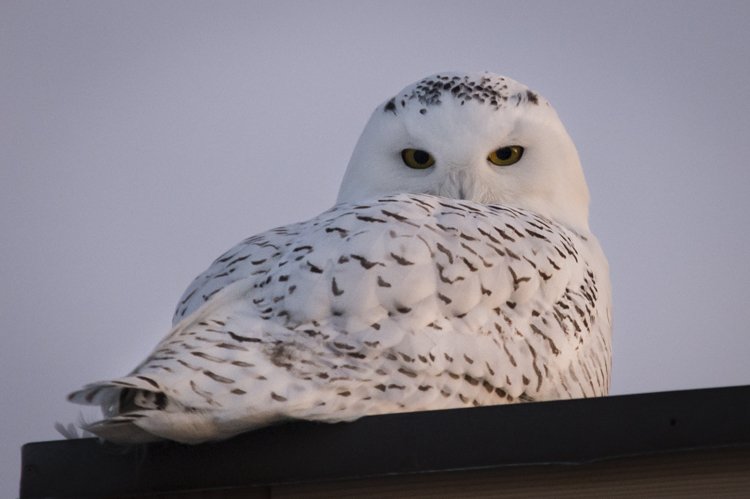 Snowy Owl on a rooftop at dusk