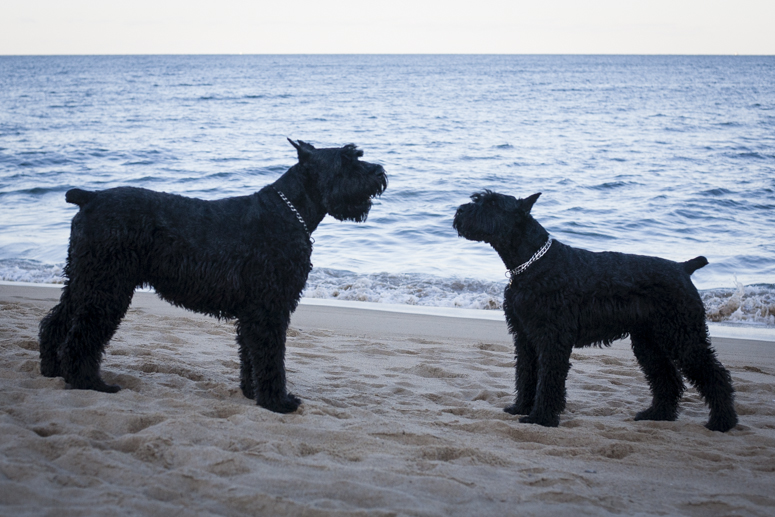 the Giant German Schnauzers