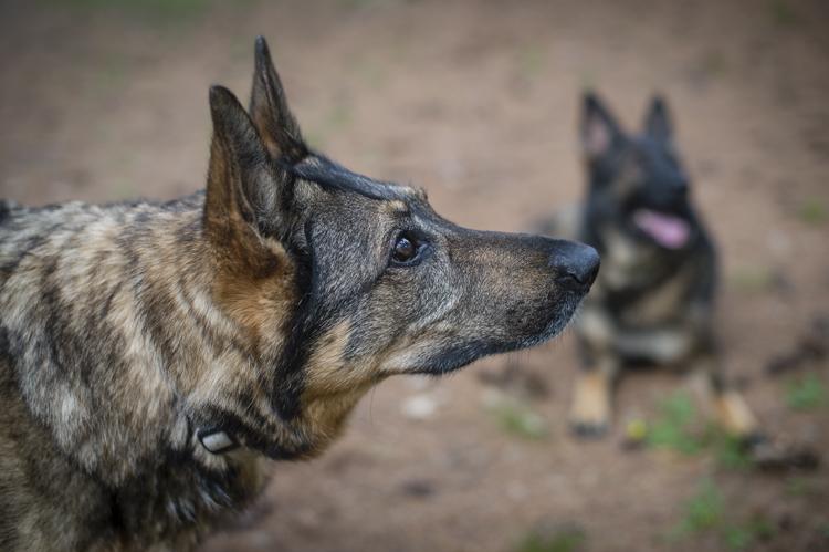dogs breyer madison luke skywalker-6016