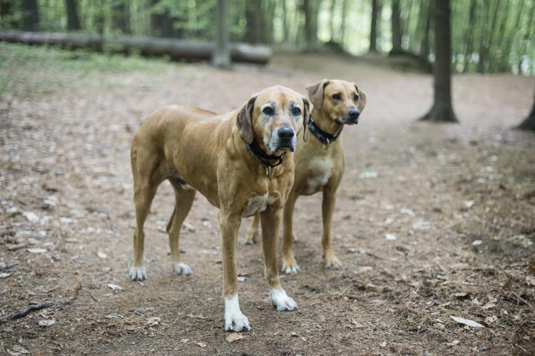 dogs breyer madison luke skywalker-6024