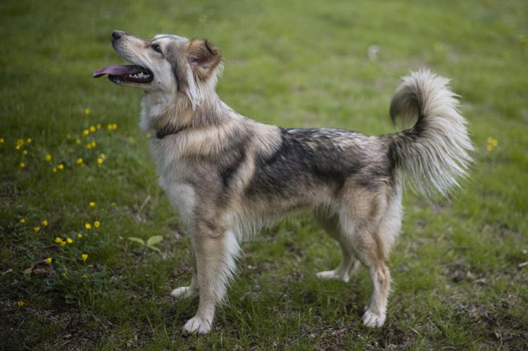 Coyote Husky Hybrid