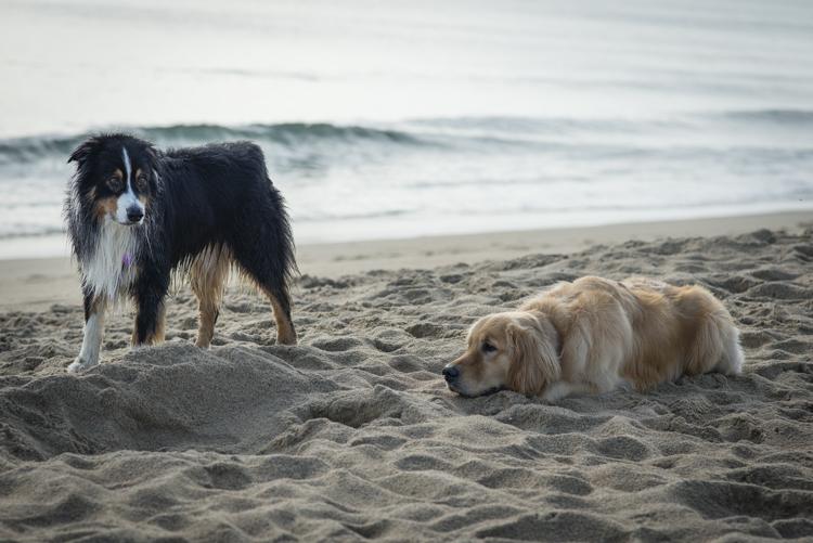 dogs caruso jack-5619