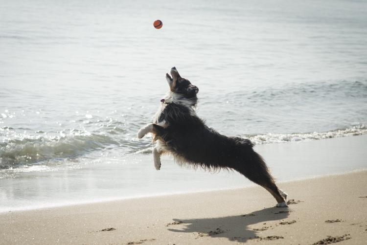 dogs caruso jack-5646