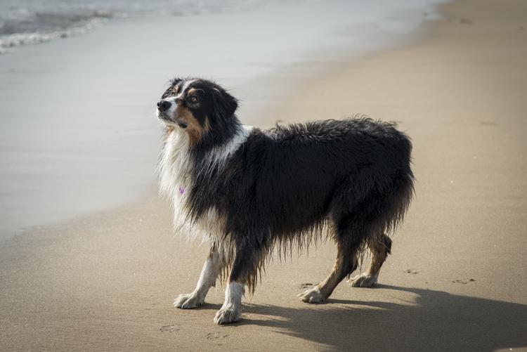 dogs caruso jack-5651