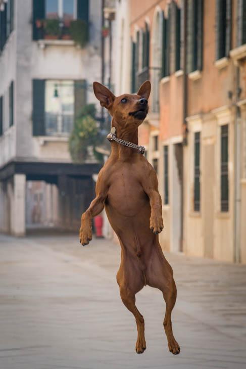 Maestro!   The cutest dog in Venice!