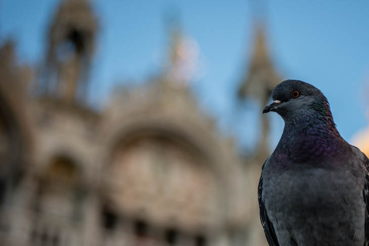 one of the most famous Venice pigeons