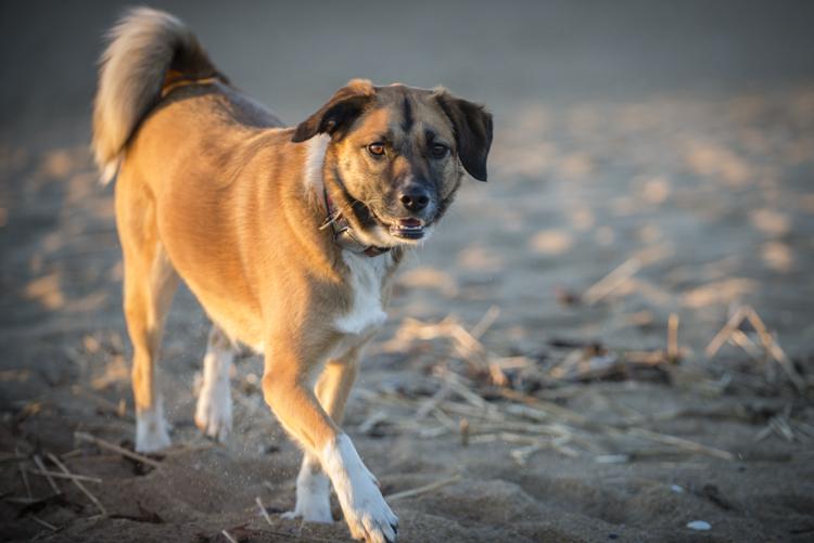 dogs cricket PI-3135