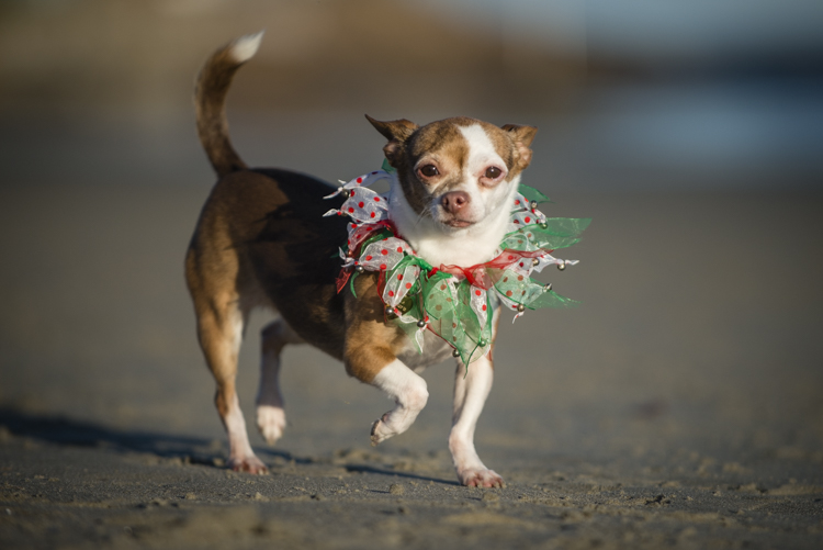 "I remember...Lola on Christmas Day at Good Harbor Beach...what a way to spend a gorgeous Christmas afternoon, chasing dogs on my favorite beach...have a happy and healthy New Year everybody!   Thanks for ""stopping by!""   See you in 2015!"