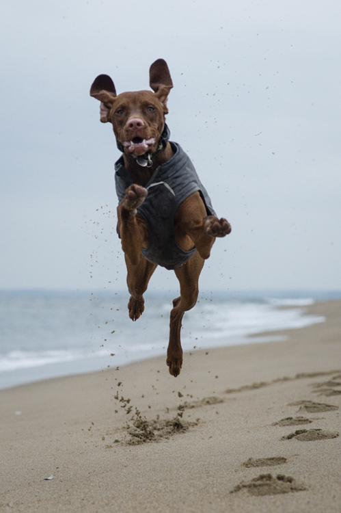 I remember...the flying Vizsla!