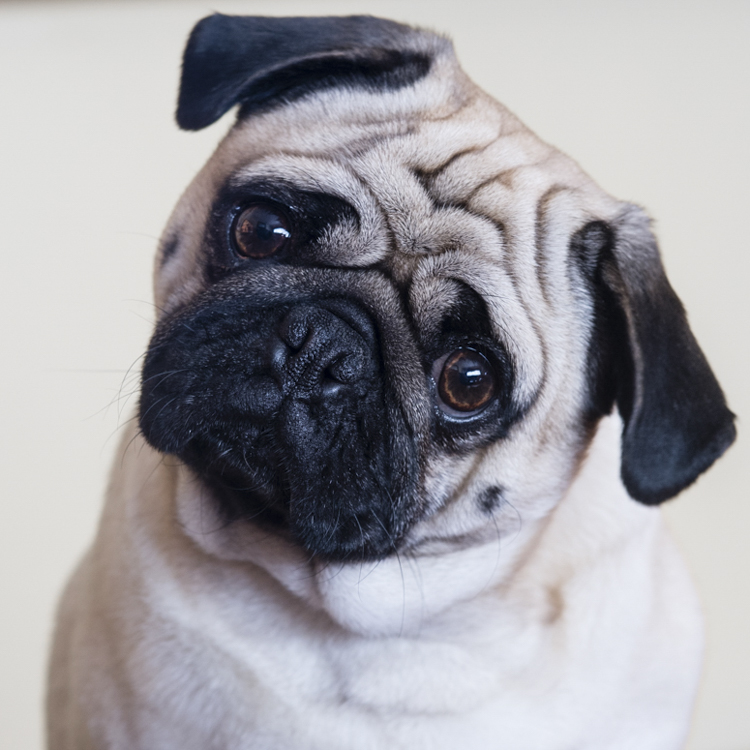 I remember...the world's most handsome pug, Honeybun!