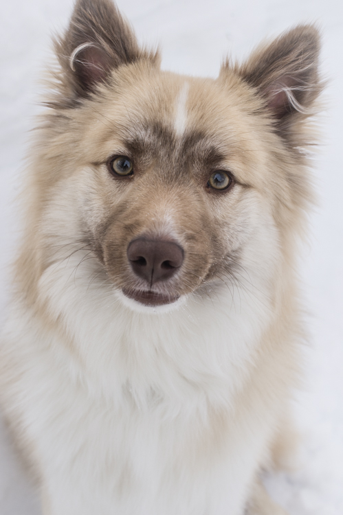 Ruppert, the Icelandic Sheepdog
