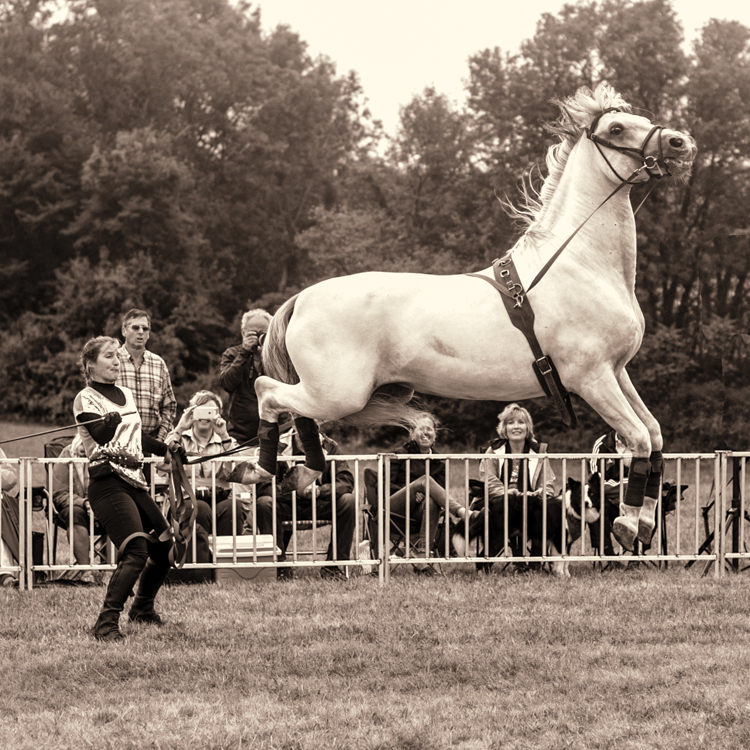 one of Herrmann's Royal lipizzan's in action...