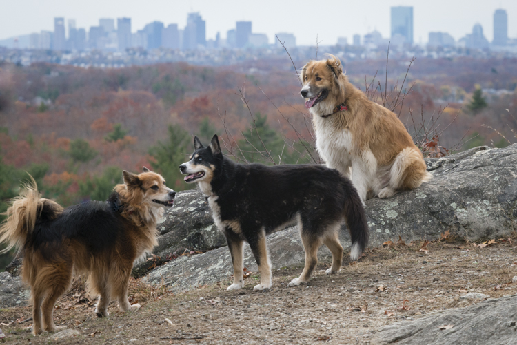fury, allie, and loki at lynn woods, under the backdrop of the boston skyline
