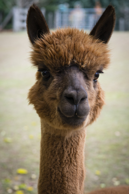 one of Mike's alpacas