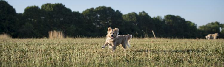 splf, dogs, scout-7548