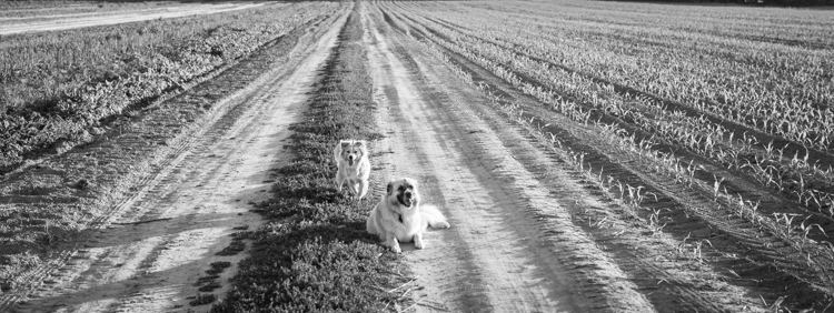 splf, dogs, scout-7584