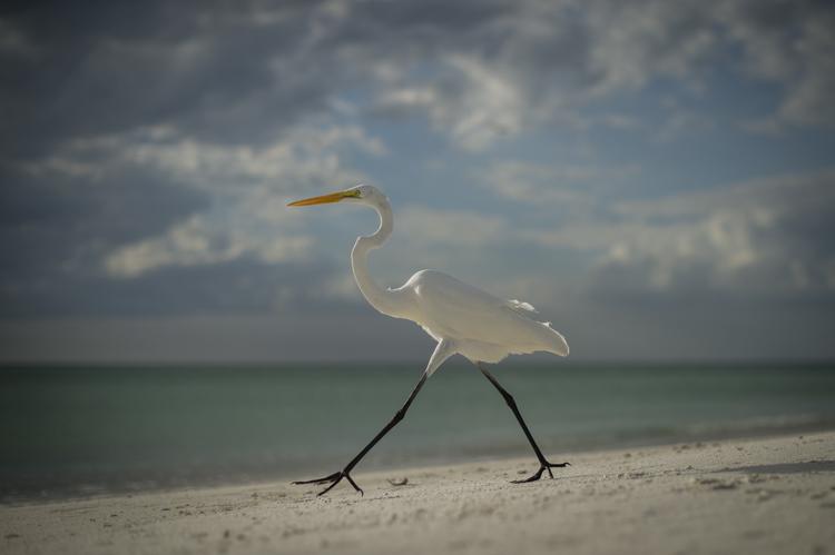 egret at coquina