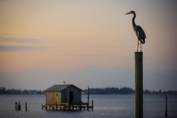 great blue heron, starfish restaurant, cortez fla