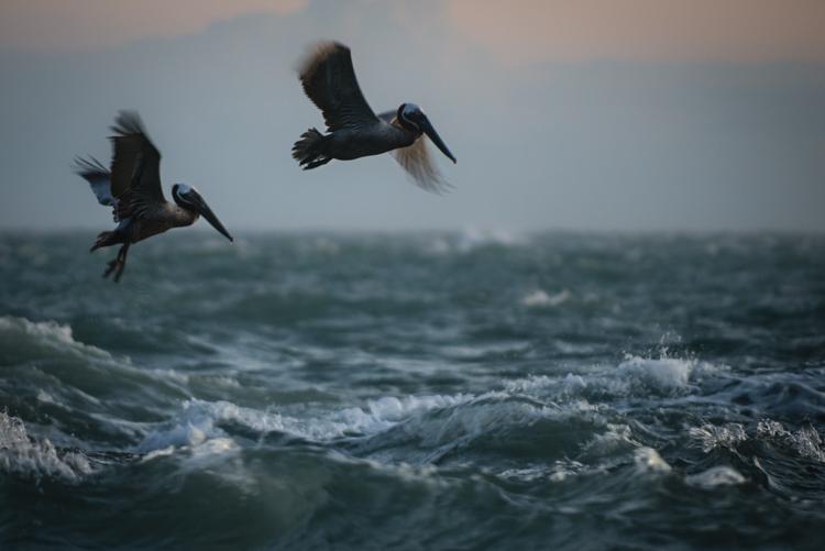 pelicans at coquina, anna maria island